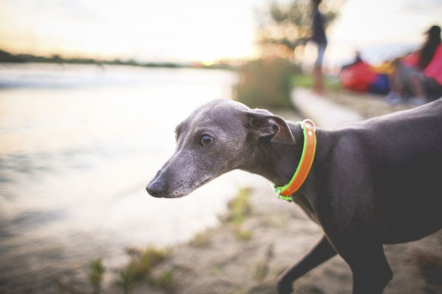 These Placid Calm Dogs Aren T Tiny But Great For Apartments They Rarely Bark And However Need Exercise Regularly As Any Dog Greyhounds Are Quiet