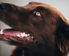 Brown dog showing pet oral hygiene