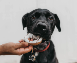 A dog eating a cookie