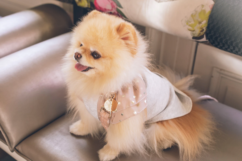 Cute Pomeranian Happy After Receiving In-Home Dog Grooming
