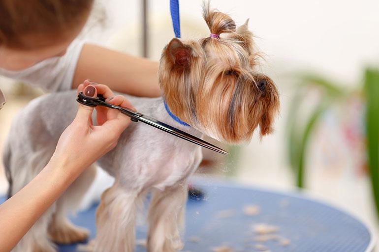groomer cutting dog's hair