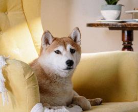 dog sitting on a sofa