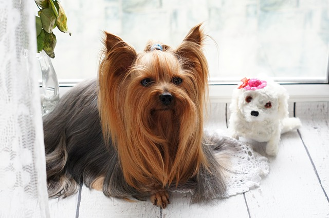 Yorkshire Terrier Haircuts - Show Cut