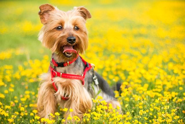 Yorkshire Terrier Haircuts - Schnauzer Trim