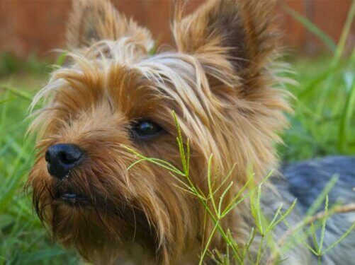 Yorkshire Terrier photo