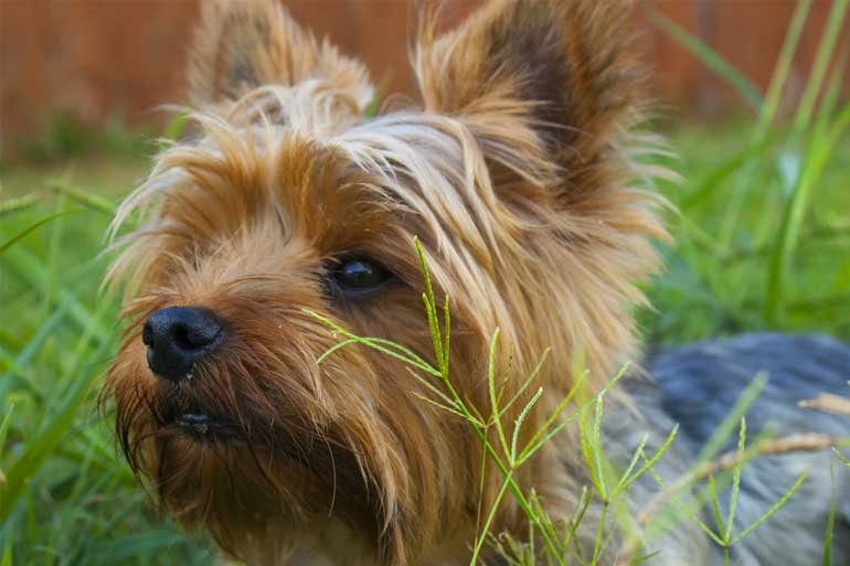 Pet Grooming near me Yorkshire Terrier photo